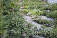 高山植物2.jpg