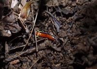 蛍の幼虫.jpg