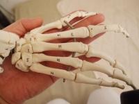 手の骨格.jpg