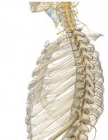 肋間神経.jpg