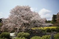 下馬桜.jpg